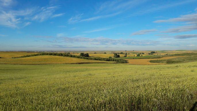 El camino, zöldellő búzamező