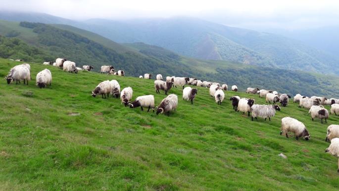 Pireneusok, népes juhnyáj legelészett a hegyoldalban.