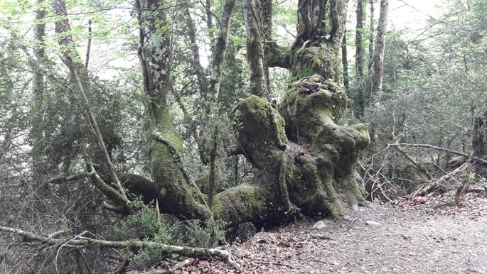 El camino, ősfa.