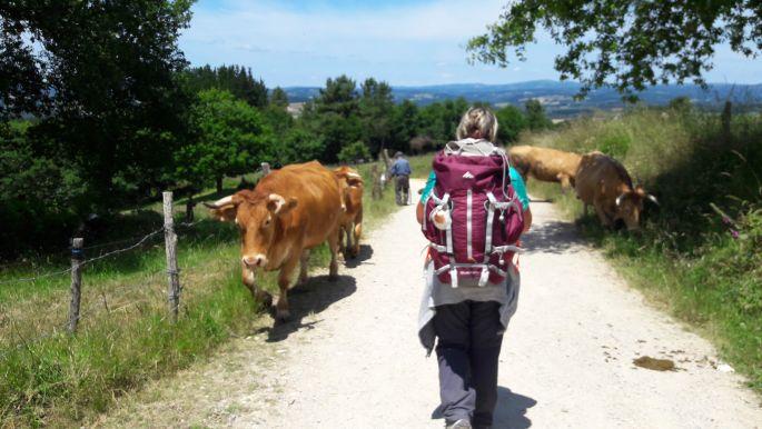 El camino, marhák az úton, szembeforgalom :-)