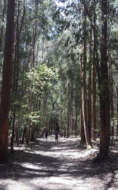 El camino, eukaliptusz erdő Galiciában