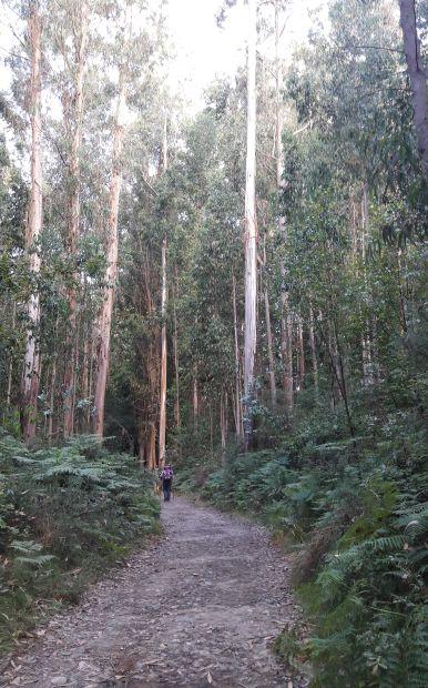 El camino, eukaliptusz liget