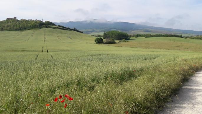El camino, búzamező és pipacs