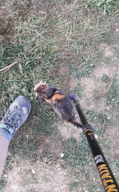 A kiscica a túrabotomhoz dörgölőzik. :-)