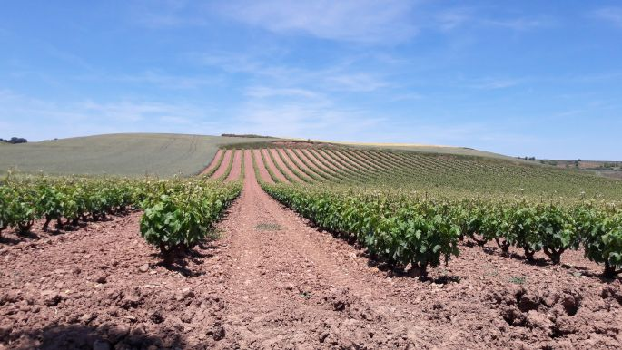 El camino, szőlőültetvény