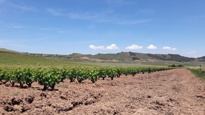 El camino, szőlős