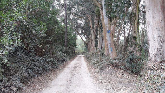 El Camino Costa, Portugál parti út, erdő