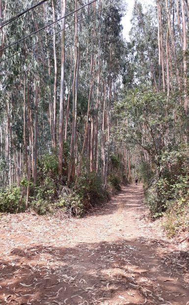 Portugál camino, eukaliptuszerdő