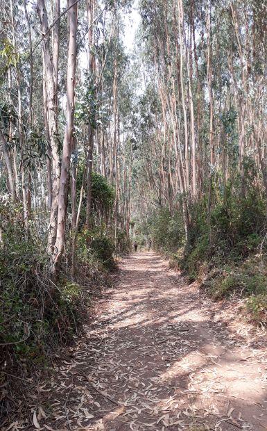Portugál camino, eukaliptusz