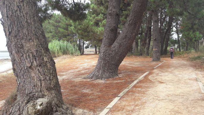Variante Espiritual, út az óceánparton vastag törzsű fákkal