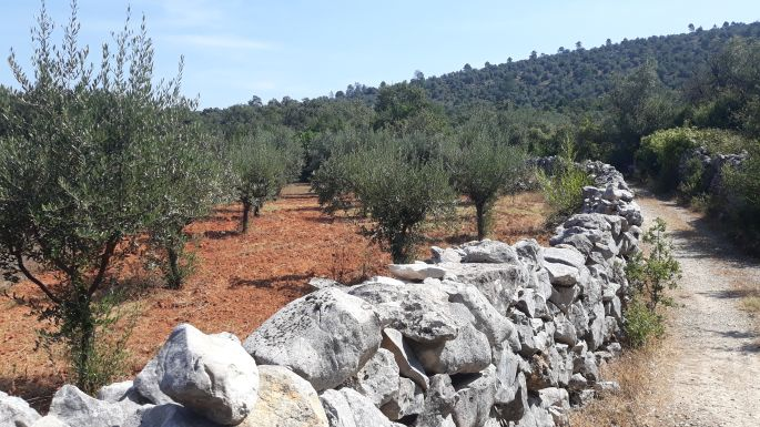 Portugál Camino, olajfa liget