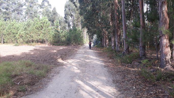 Portugál camino, út az eukaliptusz erdőben