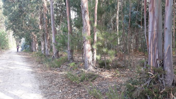Portugál camino, eukaliptusz erdő
