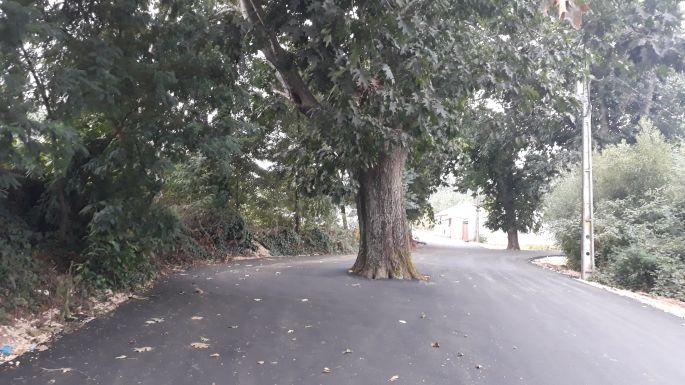 Portugál Camino, körbeaszfaltozott fa