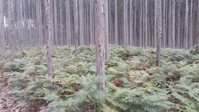 Portugál Camino, eukaliptuszerdő és páfrány