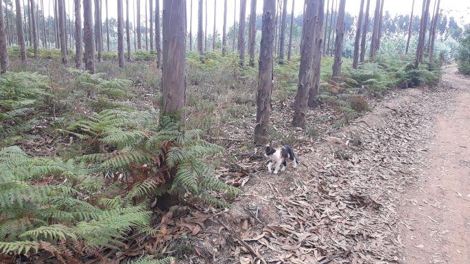 Portugál Camino, cica, eukaliptuszerdő és páfrány