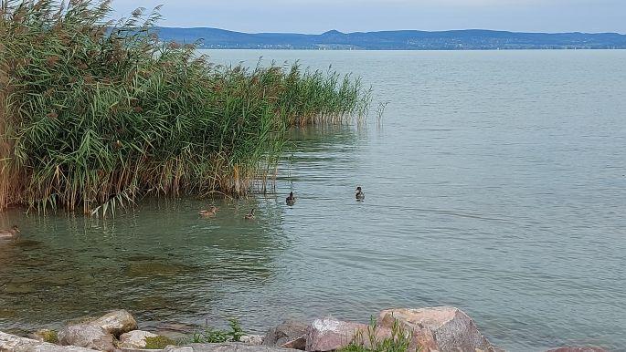 Balaton túra, vízi madarak a part közelében