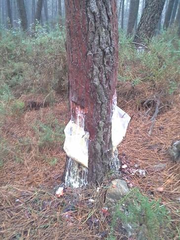 Így gyűjtik a fából nedvedző ragacsot.