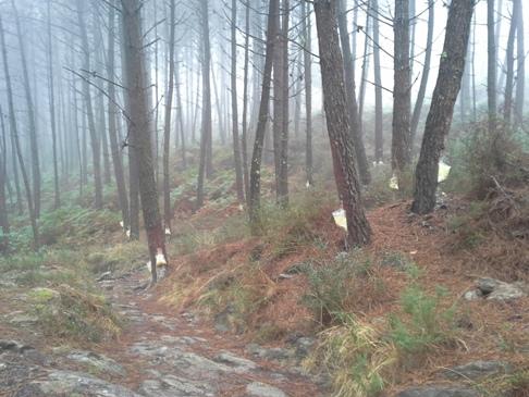 A kaucsukfa erdő ködben, párában.