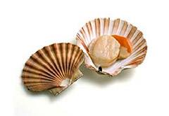 amerikai_fesukagylo_atlantic_deep_sea_scallop.jpg