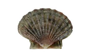 kozonseges_fesukagylo_king_scallop.jpg