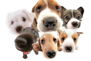 Melyik a legnépszerűbb kutyafajta?