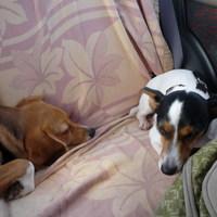 V. Russell Terrier és Beagle - Mikulás - túra