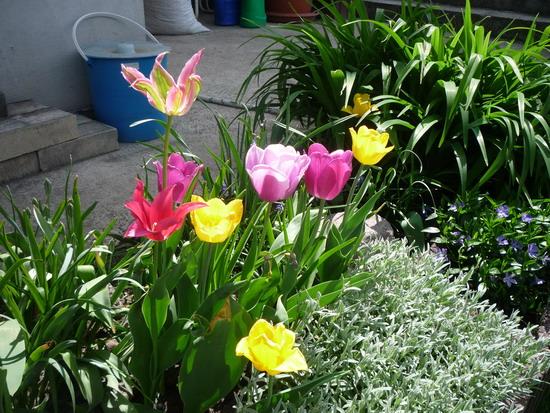 11_tulipanok.jpg