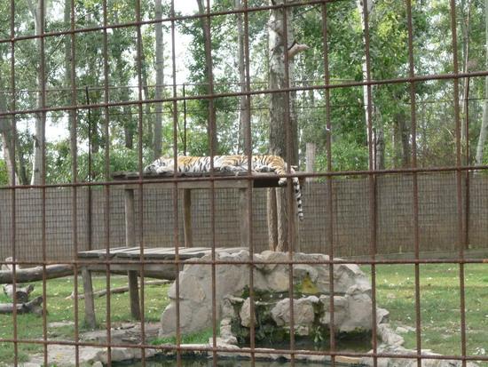 30_nagy_tigrisek.jpg