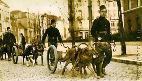 Vontató kutyák a belga hadseregben