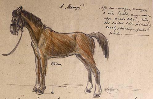 """Hegedős Károly lova, Dongó: """"175 cm magas, aranypej 5 éves herélt, anyja nóniusz, apja arabs telivér, hóka, két hátsó lába félcsánkig kesely, sörénye, farka fekete"""""""