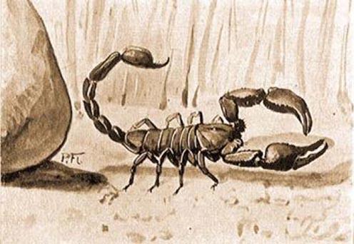 Olasz skorpió (Euscorpius italicus Herbst)