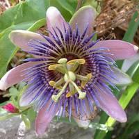 A Golgotavirág (Passiflora caerules)