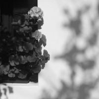 Geranium in the window