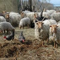 Hogy kerül a húsvéti bárány az asztalra?