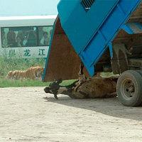 A turisták szeme előtt téptek szét egy tehenet a tigrisek