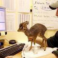 Magárahagyta anyja az aranyos kis antilopot