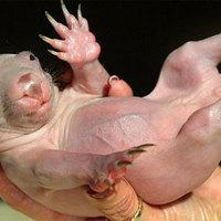 Karmann, a picurka vombat bébi