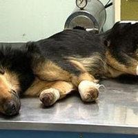 Boris Tadić fogadná be Milát, a megcsonkított kutyát