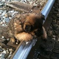 Kiskutyát mentett meg egy vasúti pályafelügyelő