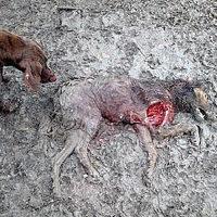 Kannibalizmusra kényszerült kutyák a smederevói állatmenhelyen