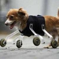 Protézist kapott a mellső lábak nélkül született kutya