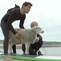 Szörföző birka