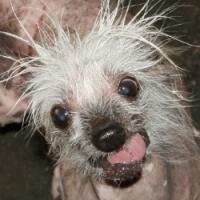 Megválasztották az év legrondább kutyáját Kaliforniában