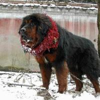 A tibeti dog luxus cikk Kínában