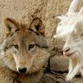 A kecske és a farkas jó barátok