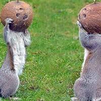 A mókusok megőrülnek a kókuszdióért
