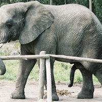 Egy hím elefánt 300 000 dolláros kárt okozott a nőstény miatt