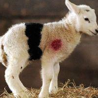 Fekete öves bárány született