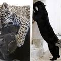 A jaguárbébi anyukájával játszik